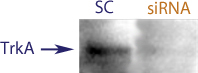 Western Blot data demonstrating successful knockdown of TrkA in rat cells after treatment with QX34 siRNA (SC = Scrambled Control (Product Number QC1), siRNA = QX34 treatment)