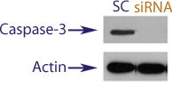 Western blot data demonstrating successful knockdown of Caspase-3 in treated human cells approximately 60 hours after treatment with QX40 siRNA (SC = Scrambled Control (Product Number QC1), siRNA = QX40 treatment)
