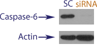 Western blot data demonstrating successful knockdown of Caspase-6 in treated human cells approximately 60 hours after treatment with QX41 siRNA (SC = Scrambled Control (Product Number QC1), siRNA = QX41 treatment)
