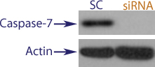 Western blot data demonstrating successful knockdown of Caspase-7 in treated human cells approximately 60 hours after treatment with QX42 siRNA (SC = Scrambled Control (Product Number QC1), siRNA = QX42 treatment)