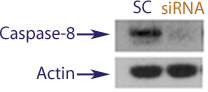 Western blot data demonstrating successful knockdown of Caspase-9 in treated human cells approximately 60 hours after treatment with QX43 siRNA (SC = Scrambled Control (Product Number QC1), siRNA = QX43 treatment)
