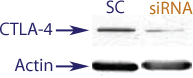 Western blot data demonstrating successful knockdown of CTLA4 in human cells approximately72 hours after treatment with QX47 siRNA (SC = Scrambled Control (Product Number QC1), siRNA = QX47 treatment)