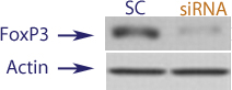 Western blot data demonstrating successful knockdown of Foxp3 in human cells approximately 24 hours after treatment with QX48 siRNA (SC = Scrambled Control (Product Number QC1), siRNA = QX48 treatment)