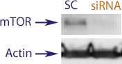 Western blot data demonstrating successful knockdown of mTor in human cells approximately 72 hours after treatment with QX50 siRNA (SC = Scrambled Control (Product Number QC1), siRNA = QX50 treatment)