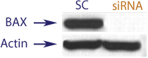 Western blot data demonstrating successful knockdown of BAX by QX9 at 48 hrs post transfection (SC = Scrambled Control (Product Number QC1), siRNA = QX9 treatment)