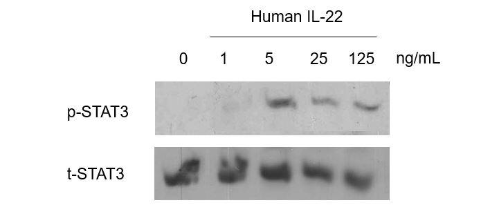 QP1166 IL22 / Interleukin 22