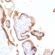 Formalin-fixed, paraffin-embedded human Placenta stained with EGFR Monoclonal Antibody (SPM622).