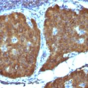 Formalin-fixed, paraffin-embedded Mouse Pancreas stained with NSE gamma Monoclonal Antibody (ENO2/1462).