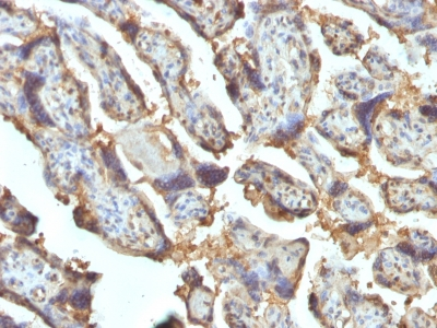 Formalin-fixed, paraffin-embedded human Placenta stained with Galectin-13 / PP13 Monoclonal Antibody (PP13/1162).