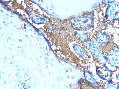 Formalin-fixed, paraffin-embedded human Placenta Stained with Glycophorin A Monoclonal Antibody (JC159)