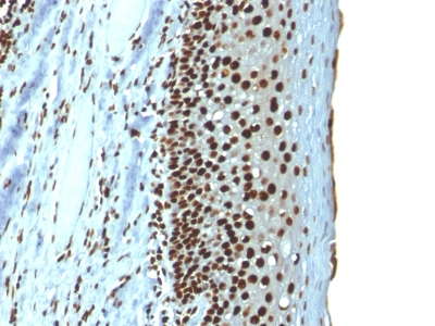 Formalin-fixed, paraffin-embedded Rat Pancreas stained with Histone H1 Mouse Recombinant Monoclonal Antibody (r1415-1)
