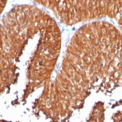 Formalin-fixed, paraffin-embedded human Pancreas stained with HSP6 Monoclonal Antibody (SPM253).