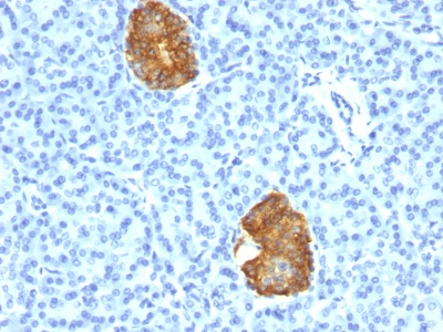 Formalin-fixed, paraffin-embedded human Pancreas stained with Insulin Monoclonal Antibody (E2-E3+2D11-H5).