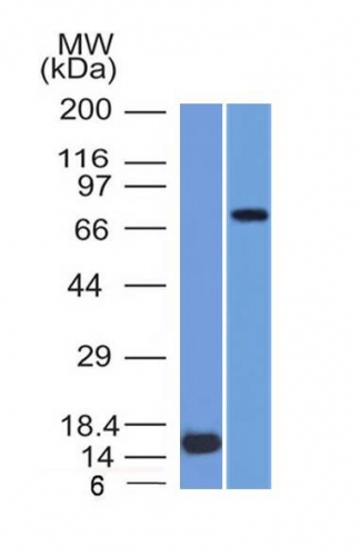 Western Blot  of (1) Recombinant MMP2 protein and (2) U87 Cell Lysate using MMP2 Monoclonal Antibody (MMP2/151).
