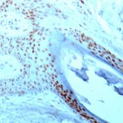 Formalin-fixed paraffin-embedded human Tonsil stained with Nucleolin Monoclonal Antibody (364-5).