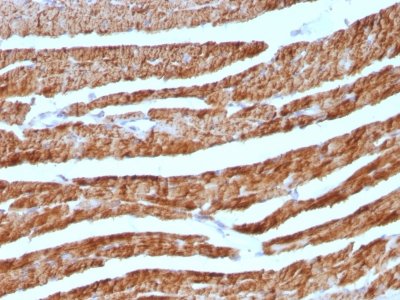 Formalin-fixed, paraffin-embedded human Pancreas stained with Cytochrome C Monoclonal Antibody (7H8.2C12 + CYCS/11).
