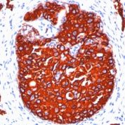 Formalin paraffin Rat Stomach stained with Cytokeratin, pan Monoclonal Antibody cocktail (KRTL/177 + KRTH/176).