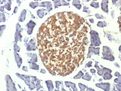 Formalin-fixed, paraffin-embedded Mouse Pancreas stained with NSE gamma Monoclonal Antibody (ENO2/1375).