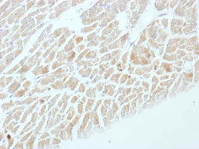 Formalin-fixed, paraffin-embedded Rat Heart stained with NSE gamma Monoclonal Antibody (ENO2/1462).