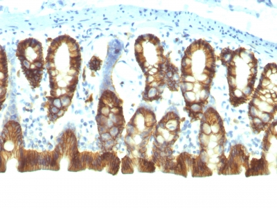 Formalin-fixed, paraffin-embedded Rat Colon stained with Epcam Monoclonal Antibody (EGP4/111).