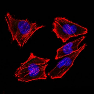 Confocal Immunofluorescent analysis of A258 cells using AF488-labeled Isotype Control Monoclonal Antibody (IgG2a) (Green). F-actin filaments were labeled with DyLight 554 Phalloidin (red). DAPI was used to stain the cell nuclei (blue). (Negative Control)