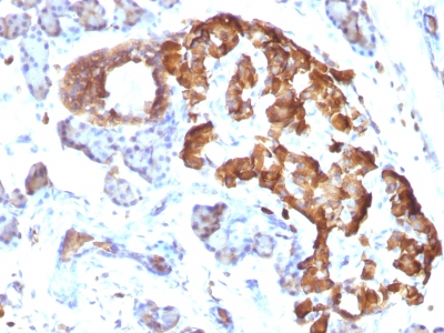 Formalin-fixed, paraffin-embedded Rat Pancreas stained with TNF alpha Monoclonal Antibody (TNFA/1172)