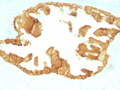 Formalin paraffin Rat Oviduct with Cytokeratin, HMW Monoclonal Antibody (KRTH/176).