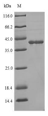 SDS-PAGE separation of QP10085 followed by commassie total protein stain results in a primary band consistent with reported data for Lutropin-choriogonadotropic hormone receptor. These data demonstrate Greater than 90% as determined by SDS-PAGE.