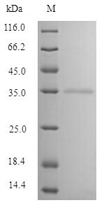 SDS-PAGE separation of QP10091 followed by commassie total protein stain results in a primary band consistent with reported data for Mannose-binding protein C. These data demonstrate Greater than 90% as determined by SDS-PAGE.