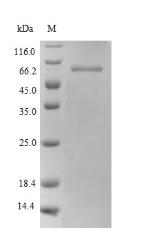 SDS-PAGE separation of QP10096 followed by commassie total protein stain results in a primary band consistent with reported data for Polypyrimidine tract-binding protein 1. These data demonstrate Greater than 90% as determined by SDS-PAGE.