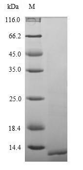 SDS-PAGE separation of QP10097 followed by commassie total protein stain results in a primary band consistent with reported data for Parathyroid Hormone. These data demonstrate Greater than 90% as determined by SDS-PAGE.