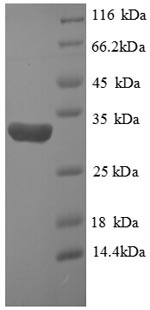 SDS-PAGE separation of QP1121 followed by commassie total protein stain results in a primary band consistent with reported data for HIF-1 alpha / HIF1A. These data demonstrate Greater than 90% as determined by SDS-PAGE.