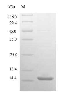 SDS-PAGE separation of QP1136 followed by commassie total protein stain results in a primary band consistent with reported data for 10 kDa heat shock protein