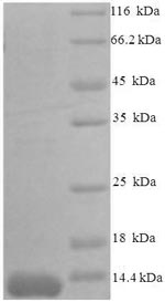SDS-PAGE separation of QP1492 followed by commassie total protein stain results in a primary band consistent with reported data for MCP-3 / CCL7. These data demonstrate Greater than 90% as determined by SDS-PAGE.