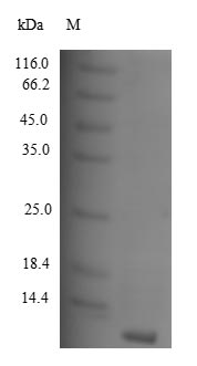 SDS-PAGE separation of QP4994 followed by commassie total protein stain results in a primary band consistent with reported data for CCL8 / MCP-2. These data demonstrate Greater than 90% as determined by SDS-PAGE.
