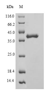 SDS-PAGE separation of QP5601 followed by commassie total protein stain results in a primary band consistent with reported data for Phosphatidylcholine translocator ABCB4. These data demonstrate Greater than 90% as determined by SDS-PAGE.