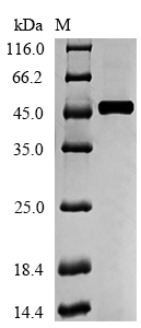 SDS-PAGE separation of QP5605 followed by commassie total protein stain results in a primary band consistent with reported data for ACADM. These data demonstrate Greater than 90% as determined by SDS-PAGE.