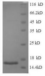 SDS-PAGE separation of QP5609 followed by commassie total protein stain results in a primary band consistent with reported data for SP-10 / ACRV1. These data demonstrate Greater than 90% as determined by SDS-PAGE.
