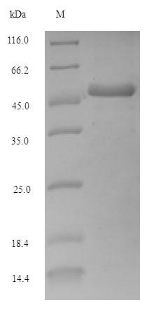 SDS-PAGE separation of QP5611 followed by commassie total protein stain results in a primary band consistent with reported data for Adenosine deaminase. These data demonstrate Greater than 90% as determined by SDS-PAGE.