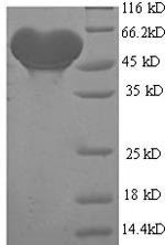 SDS-PAGE separation of QP5613 followed by commassie total protein stain results in a primary band consistent with reported data for Alcohol dehydrogenase 1B. These data demonstrate Greater than 90% as determined by SDS-PAGE.