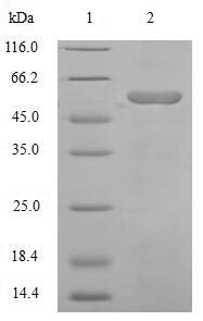 SDS-PAGE separation of QP5624 followed by commassie total protein stain results in a primary band consistent with reported data for Angiotensinogen / SerpinA8 / AGT. These data demonstrate Greater than 90% as determined by SDS-PAGE.