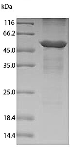 Canine Annexin A4 SDS-PAGE