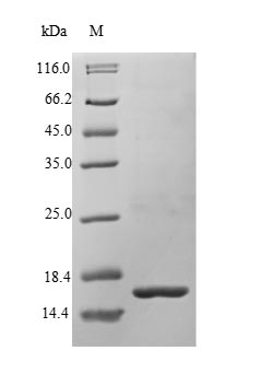 SDS-PAGE separation of QP5723 followed by commassie total protein stain results in a primary band consistent with reported data for Bone morphogenetic protein 3. These data demonstrate Greater than 90% as determined by SDS-PAGE.