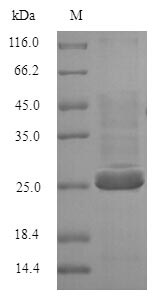 SDS-PAGE separation of QP5730 followed by commassie total protein stain results in a primary band consistent with reported data for BTN3A2. These data demonstrate Greater than 90% as determined by SDS-PAGE.