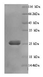 SDS-PAGE separation of QP5731 followed by commassie total protein stain results in a primary band consistent with reported data for BTN3A3. These data demonstrate Greater than 90% as determined by SDS-PAGE.