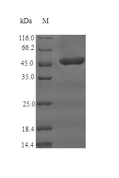 SDS-PAGE separation of QP5860 followed by commassie total protein stain results in a primary band consistent with reported data for CD35 / CR1. These data demonstrate Greater than 90% as determined by SDS-PAGE.