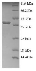 SDS-PAGE separation of QP5900 followed by commassie total protein stain results in a primary band consistent with reported data for Cytochrome C. These data demonstrate Greater than 90% as determined by SDS-PAGE.