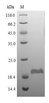 SDS-PAGE separation of QP5926 followed by commassie total protein stain results in a primary band consistent with reported data for DEFB1 / Beta-defensin 1. These data demonstrate Greater than 90% as determined by SDS-PAGE.