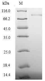 SDS-PAGE separation of QP5949 followed by commassie total protein stain results in a primary band consistent with reported data for Desmoglein-3. These data demonstrate Greater than 90% as determined by SDS-PAGE.