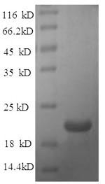 SDS-PAGE separation of QP5964 followed by commassie total protein stain results in a primary band consistent with reported data for Ephrin-A1 / EFNA1. These data demonstrate Greater than 90% as determined by SDS-PAGE.